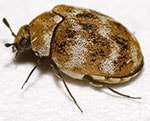 carpet beetle treatments lancashire