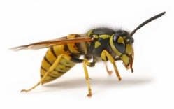 wasp treatments preston